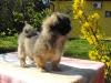 Zora tibetan spaniel puppy 3 months old 6